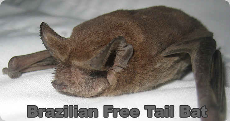Baby mexican free tailed bat
