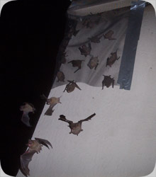 Superior Bat Exclusion We Have Trained For Years Specially On Control In Several States The Usa Specialize Florida